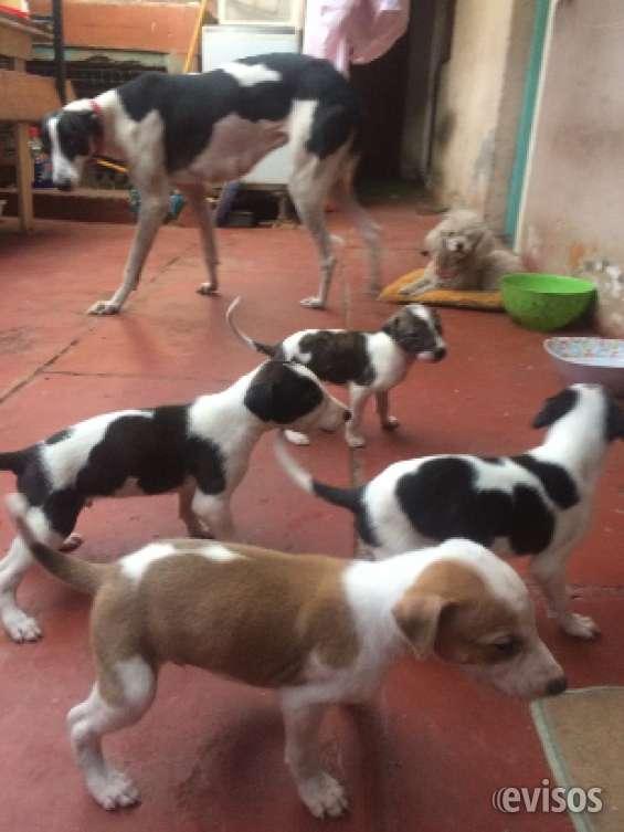 Cachorro galgos