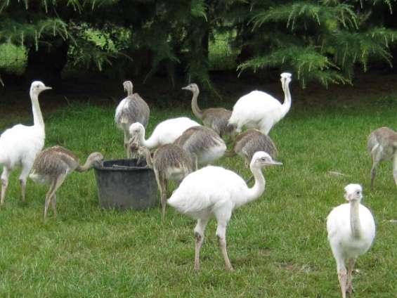 Avestruces, emus, nandous y sus huevos.