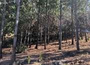 bosque de pino con terreno de 100 hectáreas