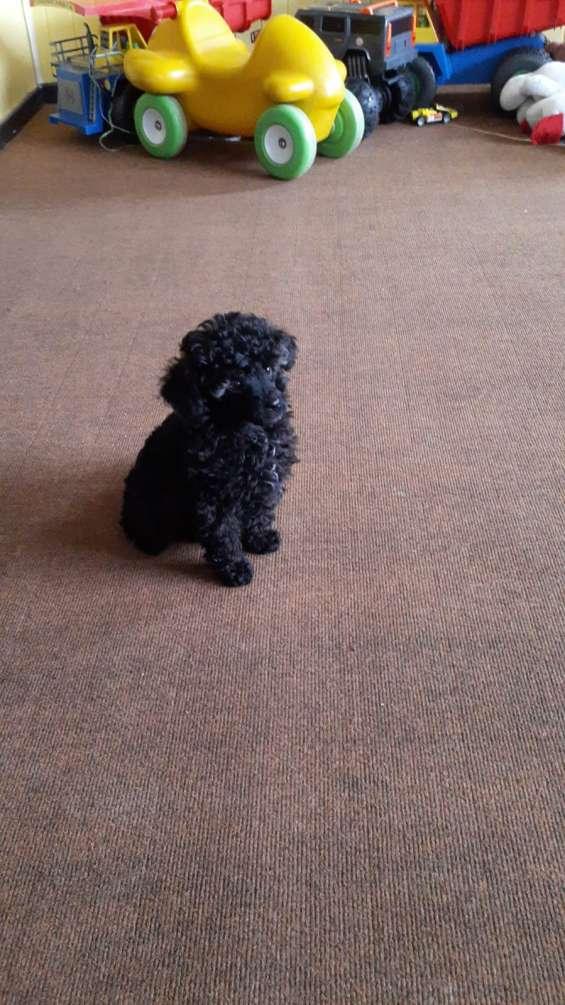 Cachorrito poodle toy negro 3 meses